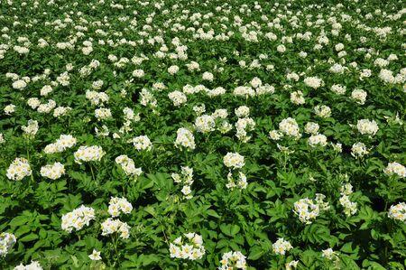 Potato field Stock Photo - 15311228