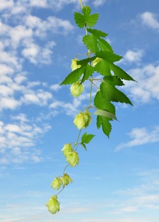 lupulus: Hop (Humulus lupulus)