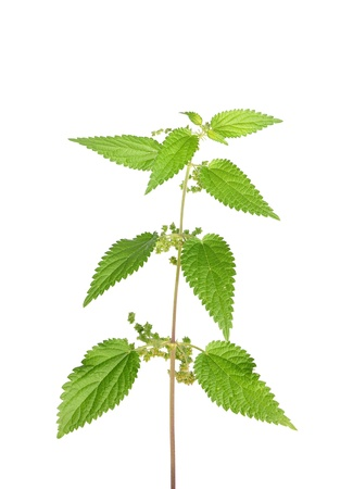 Stinging nettle (Urtica dioica) photo