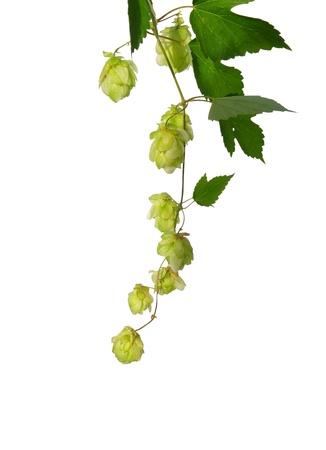 humulus lupulus: Hop (Humulus lupulus)