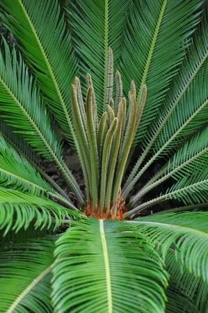 cycad: Cycad palm (Cycas)