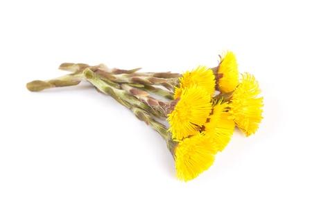 Flowers of coltsfoot Standard-Bild