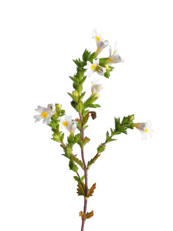 좁쌀풀 (Euphrasia의 officinalis)
