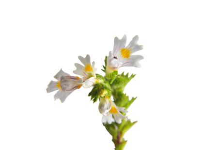 Eyebright (Euphrasia officinalis)