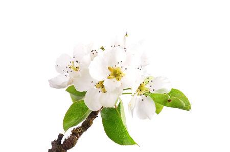 pyrus: Pear flowers (Pyrus communis) Stock Photo
