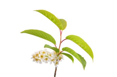 buckthorn: Alder buckthorn flowers (Frangula alnus)