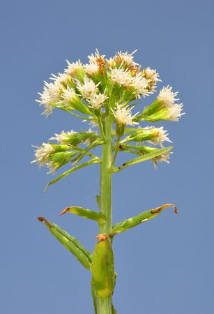 petasites: White butterbur (Petasites albus) Stock Photo