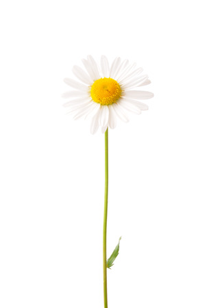 vulgare: Ox-eye daisy (Leucanthemum vulgare) Stock Photo