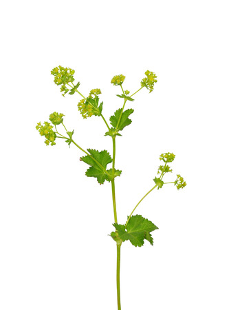 Smooth lady s mantle (Alchemilla glabra) photo