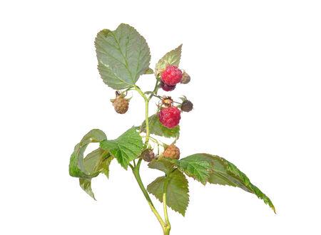 rubus: Raspberry (Rubus idaeus)