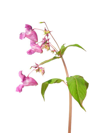 impatiens: Himalayan balsam (Impatiens glandulifera)