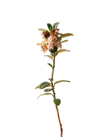 ericaceae: Lingonberry (Vaccinium vitis-idaea)