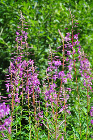 angustifolium: Fireweed (Epilobium angustifolium)