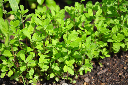 Sweet marjoram Stock Photo