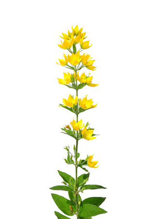 spotted: Spotted loosestrife (Lysimachia punctata)