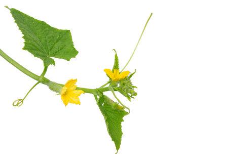 cuke: Cucumber flower Stock Photo