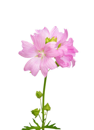 mallow: Mallow flower
