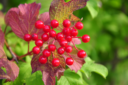viburnum: Berries of guelder-rose (Viburnum opulus) Stock Photo