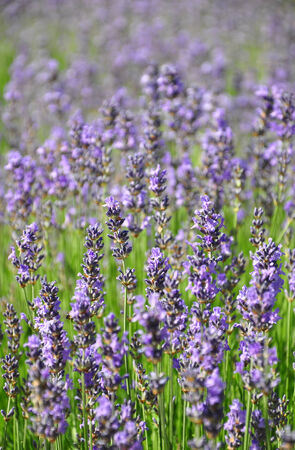 lavandula angustifolia: Lavender field Stock Photo