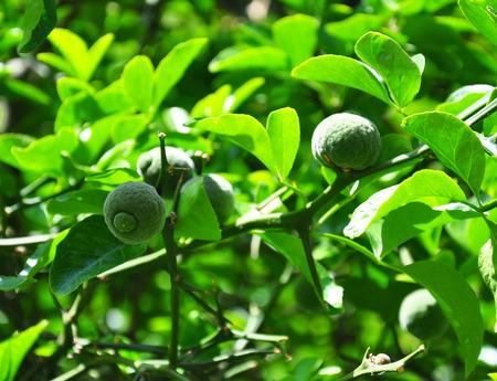 rutaceae: Trifoliate orange (Poncirus trifoliata)