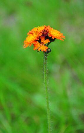hawkweed: Orange hawkweed (Hieracium aurantiacum) Stock Photo