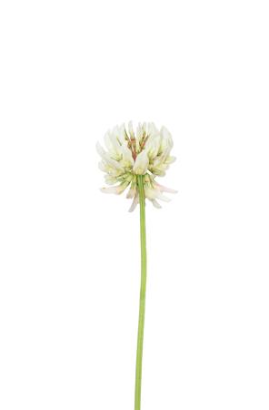 repens: White clover (Trifolium repens)