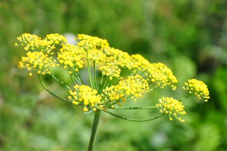 finocchio: Finocchio (Foeniculum vulgare)