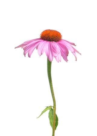echinacea purpurea: Purple coneflower (Echinacea purpurea)