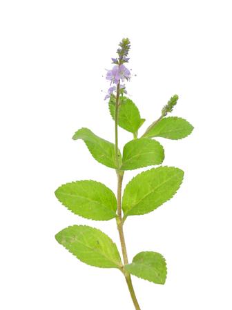 plantaginaceae: Heath speedwell (Veronica officinalis) Stock Photo