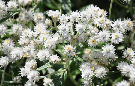 pearly: Pearly everlasting  (Anaphalis triplinervis)