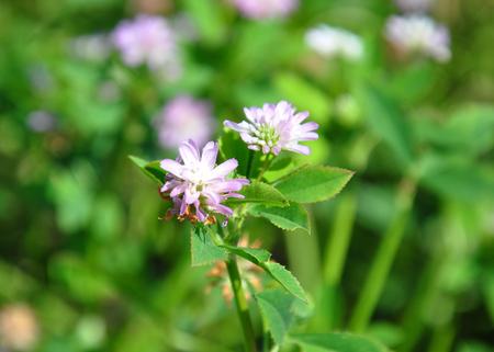 trifolium: Persian clover (Trifolium resupinatum)