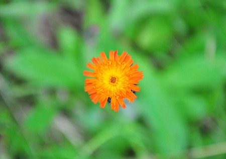 hawkweed: Orange hawkweed (Hieracium aurantiacum) Stock Photo