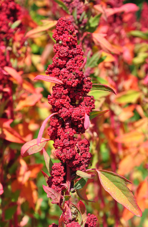 Quinoa (Chenopodium quinoa)