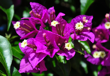 bougainvillea: Lesser bougainvillea (Bougainvillea glabra)