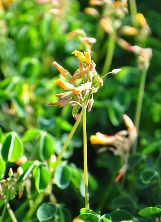 oxalidaceae: Oca (Oxalis tuberosa)