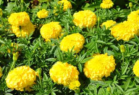 tagetes: Mexican marigold (Tagetes erecta)