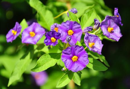 solanaceae: Blue potato bush (Lycianthes rantonnetii) Stock Photo