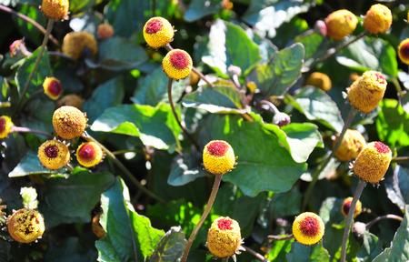 Paracress (Acmella oleracea) Foto de archivo