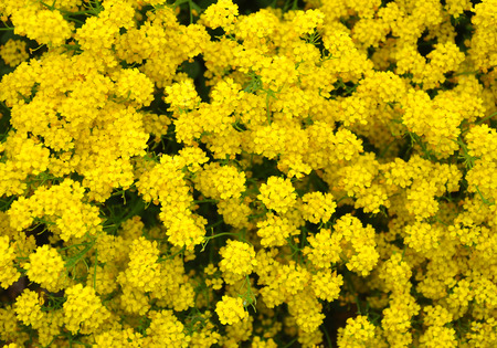 golddust: Golden alyssum (Aurinia saxatilis) Stock Photo