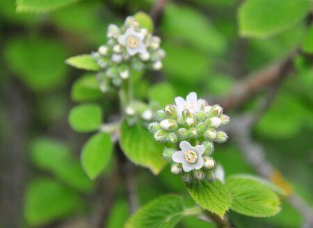 Waxflower (Jamesia americana) Stock Photo