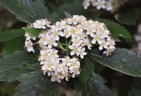 sorbus: Lesser whitebeam (Sorbus minima)