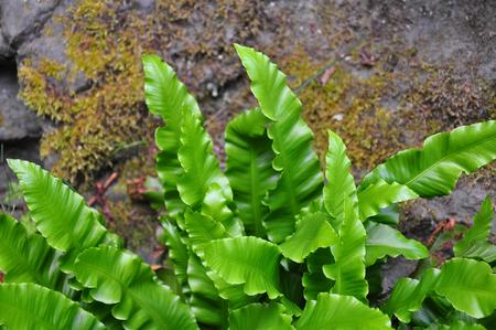 Harts-tongue (Asplenium scolopendrium)