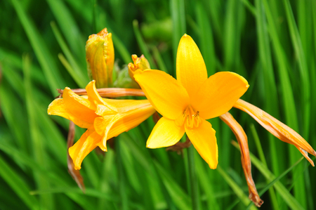 Daylily (Hemerocallis esculenta)