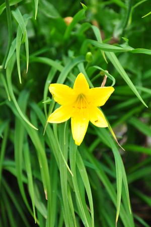 Dwarf daylily (Hemerocallis minor) Фото со стока