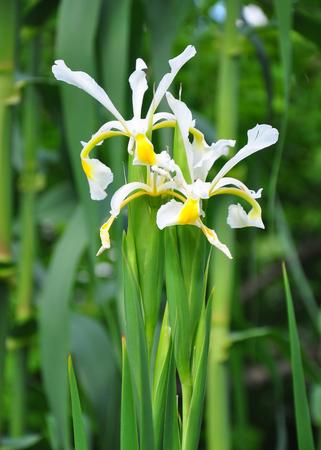 Oriental iris (Iris orientalis)