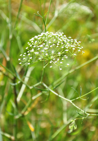 Sickleweed (Falcaria vulgaris) Фото со стока