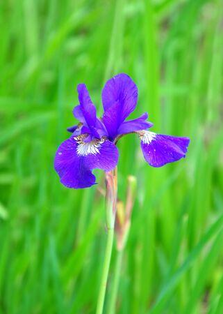 Blue flag (Iris orientalis)