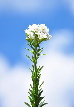 Hoary alyssum (Berteroa incana)