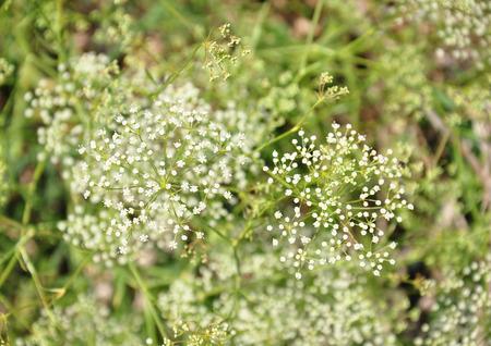 Sickleweed (Falcaria vulgaris) Banco de Imagens