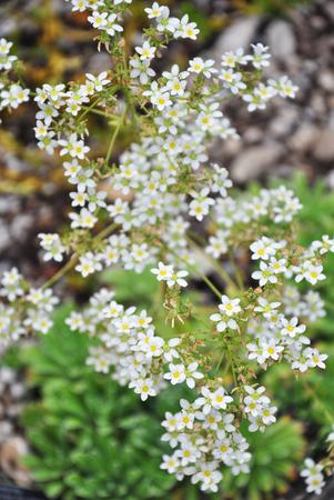 Silver saxifrage (Saxifraga crustata) Фото со стока